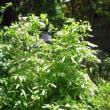 5/16 エリア6 コバノズイナの白い花