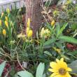 クロッカスが咲き始めた。