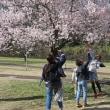 サクラ咲く・一宮市木曽川堤 9