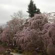 4月5日 🌸桜開花情報🌸