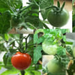 ミニトマト実ってます