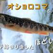 オショロコマを釣りに斜里川上流へ、あれ?!