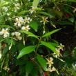 テイカカズラの花とシジュウカラ。(5/25*金)