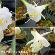 ナルキッスス・カンタブリクス・フォリオススの花は