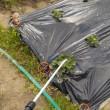 畑のタマネギ、ソラマメ、イチゴにスミチオンを散布しました