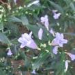 ストロビランテス・アニソフィルスの花は