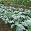 pochiko農園の野菜たち