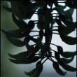 ヒスイカズラ咲きました