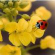 菜の花にてんとう虫が。