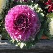 葉牡丹と淡いピンクの梅の花