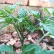 今年はこんなとこに植えてみたトマト