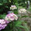 大聖寺紫陽花(参道)