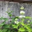 庭の野菜と花