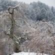 長沢のしだれ桜の冬3