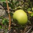 木瓜の果実 アジュール舞子