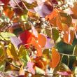 12月5日(火曜日)「南京ハゼの黄葉」(いまりさん)