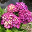 遠藤紫陽花まつり