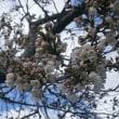 3月24日桜満開&診察結果になぜか怒る夫^^