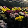菊の花と光る物体