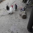 「栗山沢地鶏」です。  2017/06/15