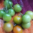ミニトマトを収穫しました