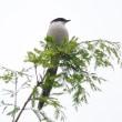 仙台の町中カッコウ、絶滅してなかった
