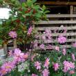 薪棚と花(シュウメイギク)