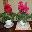 The three sisters of the persian cyclamen
