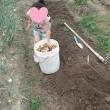 畑、じゃが芋の収穫ついでにタマネギも