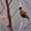 今日の野鳥   ヨシガモ ・ カンムリカイツブリ ・ モズ ・ カワラヒワ