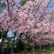 境内の桜の移ろい