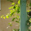可愛い小さな花壇と野葡萄のフェンス