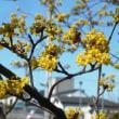 春の黄金花・満開