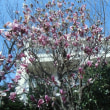 桜 木蓮 満開
