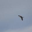 ツルシギ・幼鳥 飛翔