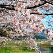 桜満開!!