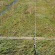 田植え開始B1田、緑米