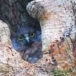 『巣穴から』 青葉木兎雛