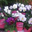 ミニ薔薇、フリルパンジー、フリルシクラメン、ハーデンベルギア、シンビジウム