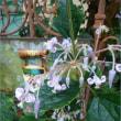 咲いた♪原種シクラメン&秋咲きアマリリス!メルカリ出品中
