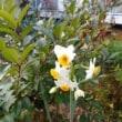 早春の花?水仙