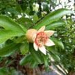 ザクロの花が咲き始めた