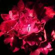 『雨上り』 紫陽花