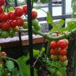 雨続きの中キャロル収穫