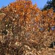 クヌギの枯葉