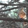 ヤブヤンマとオオタカ巣立ち雛