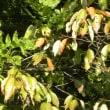 林縁のヤマザクラの葉も色づいて