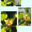 今年もゆりの木の花が咲きました。例年に比べると相当早いです。幻想的な花です。色合いも不思議です。