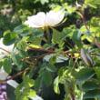 スタンウェルに白花