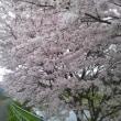 稲川沿いの桜